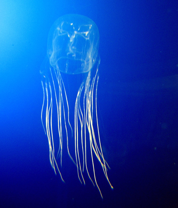 https://local-brookings.k12.sd.us/krscience/zoology/webpage%20projects/sp11webprojects/boxjellyfish/boxjellyfish.htm